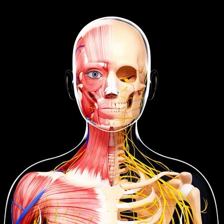 pectoralis: Female anatomy,artwork