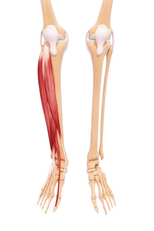Human leg musculature,computer artwork