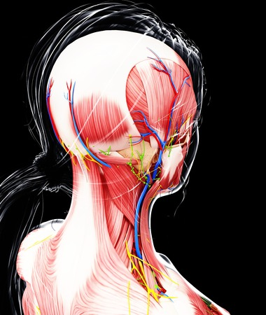 trapezius: Female anatomy,artwork