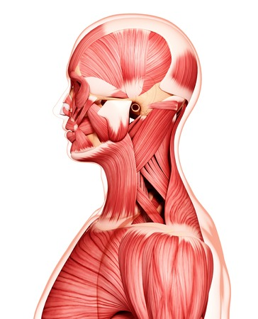 trapezius: Human musculature,artwork