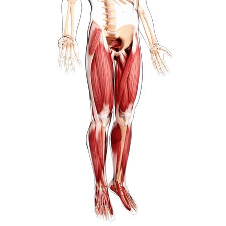 tensor: Human leg musculature,artwork LANG_EVOIMAGES