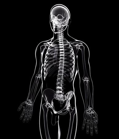pelvis: Male skeleton,artwork LANG_EVOIMAGES