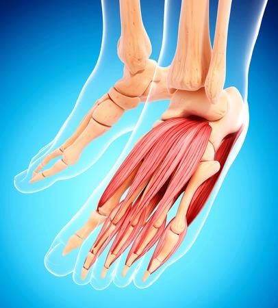 Human foot musculature,artwork LANG_EVOIMAGES