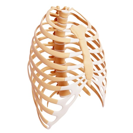 ribcage: Human ribcage,computer artwork LANG_EVOIMAGES