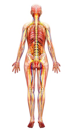 rectum: Female anatomy,artwork