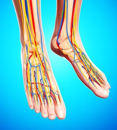 Human foot anatomy,computer artwork