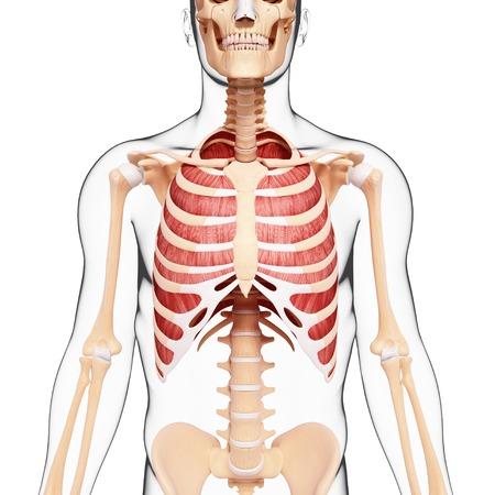 thorax: Human musculature,computer artwork