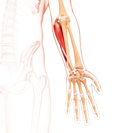 Human arm musculature,artwork