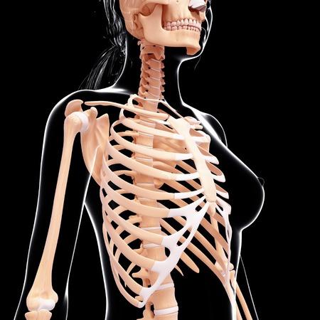 human likeness: Female skeleton,artwork LANG_EVOIMAGES