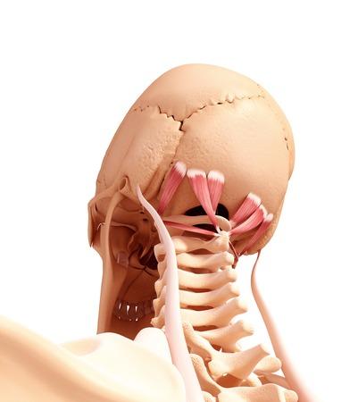 human likeness: Human neck musculature,artwork