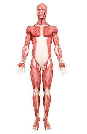 musculature: Human musculature,artwork