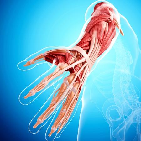 human likeness: Human arm musculature,artwork