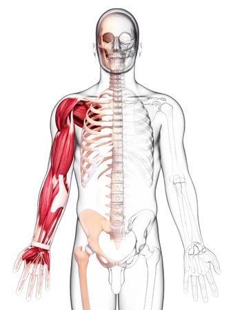 Human arm musculature,artwork