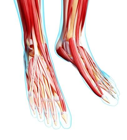 anterior: Human foot musculature,computer artwork