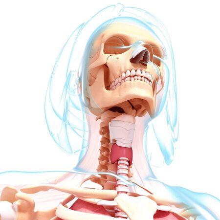Weibliche Anatomie, Kunstwerk Lizenzfreie Fotos, Bilder Und Stock ...
