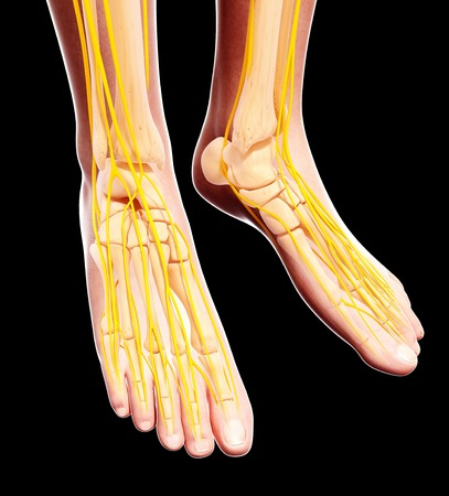 Human foot nervous system,computer artwork