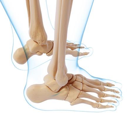 Human foot bones,computer artwork LANG_EVOIMAGES