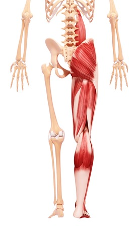 Human leg musculature,artwork LANG_EVOIMAGES
