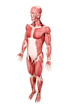 pectoralis: Human musculature,computer artwork