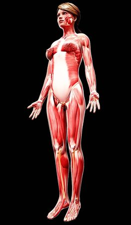 mammary: Female musculature,artwork