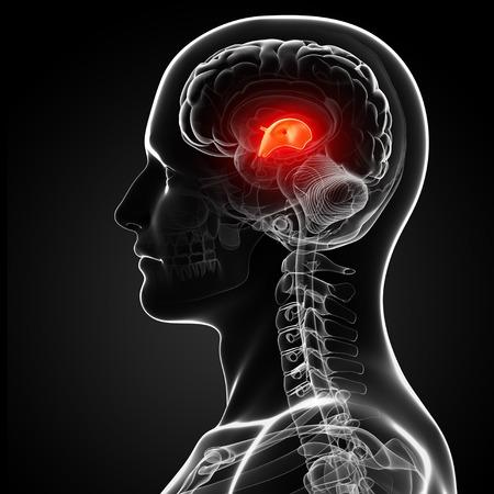thalamus: Male brain,artwork