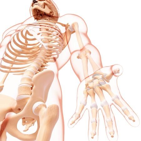 Male skeleton,artwork LANG_EVOIMAGES