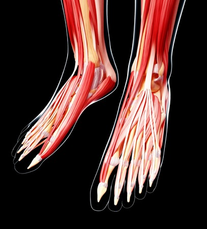 Human foot musculature,artwork LANG_EVOIMAGES