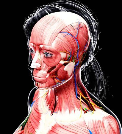 pectoralis: Female anatomy,computer artwork LANG_EVOIMAGES