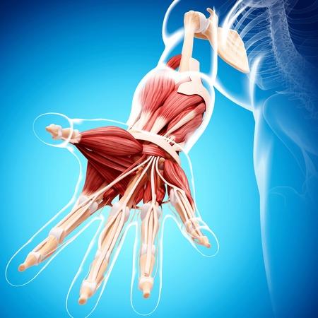 Human arm musculature,computer artwork