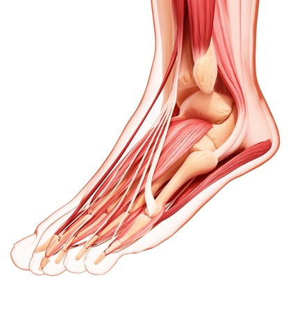 gastrocnemius: Human foot musculature,computer artwork