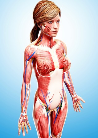 Female anatomy,computer artwork LANG_EVOIMAGES