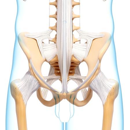 Human Pelvic Bones,artwork Stock Photo, Picture And Royalty Free ...