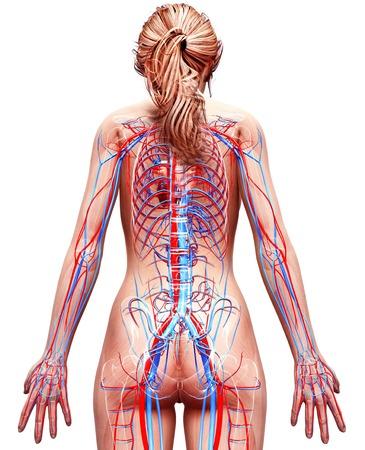 female likeness: Female cardiovascular system,computer artwork