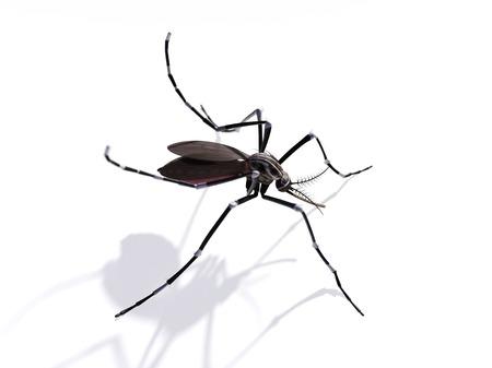 entomological: Mosquito,artwork