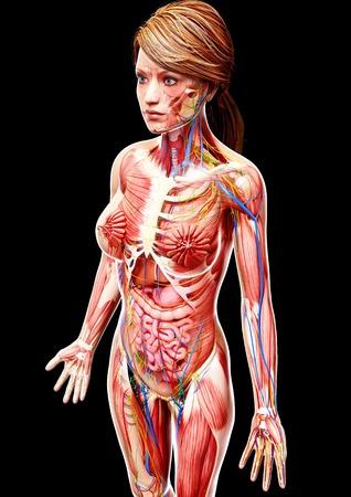 Female anatomy,artwork