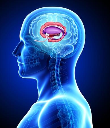thalamus: Male brain,computer artwork