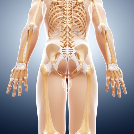 radius ulna: Human skeleton,computer artwork