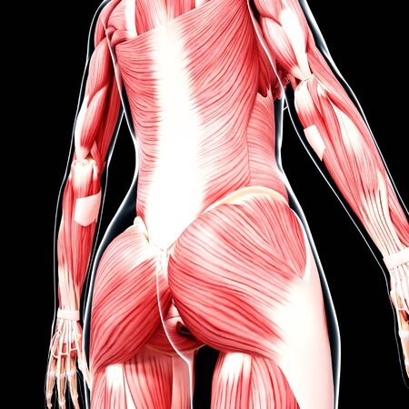 Human musculature,artwork