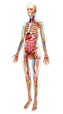 Human anatomy,computer artwork LANG_EVOIMAGES