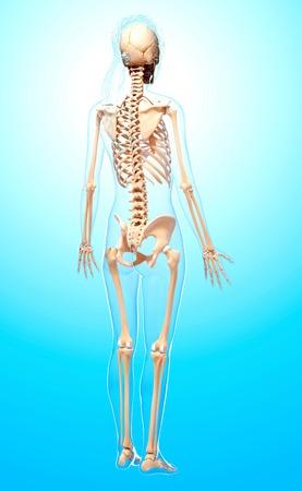 female likeness: Female skeleton,artwork LANG_EVOIMAGES