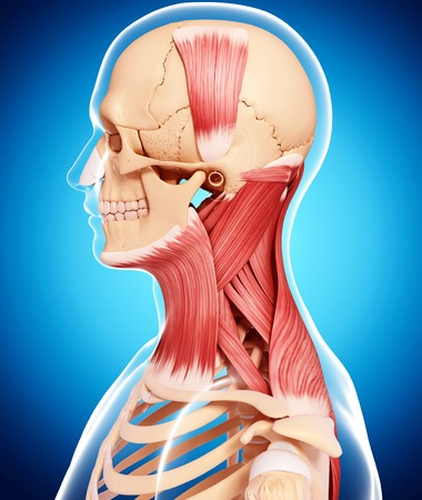 trapezius: Human neck musculature,computer artwork LANG_EVOIMAGES