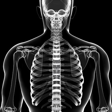 thorax: Human skeleton,artwork