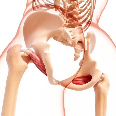 Human hip musculature,computer artwork LANG_EVOIMAGES
