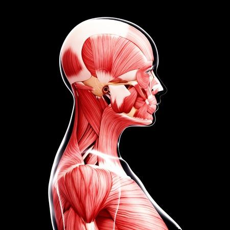 female likeness: Female musculature,artwork