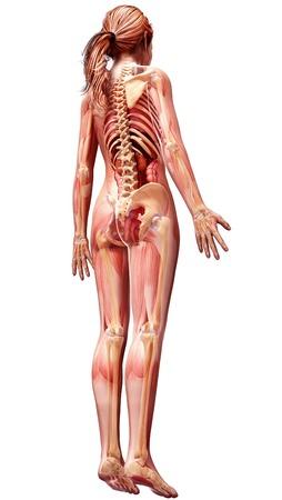 anatomía femenina, ilustraciones del ordenador LANG_EVOIMAGES
