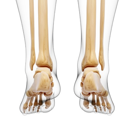 Human leg bones,computer artwork