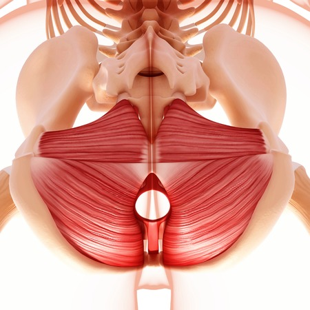 sphincter: Human hip musculature,artwork