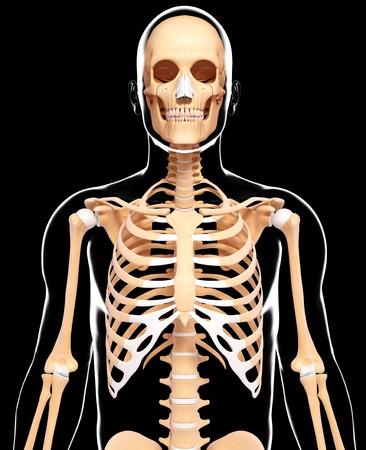 Human skeleton,computer artwork