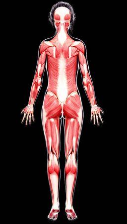 musculature: Female musculature,artwork
