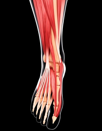Human foot musculature,computer artwork